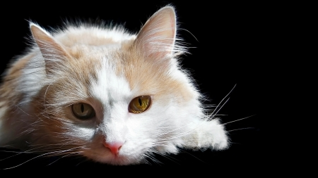 Home cat white on black background    Stock Photo - 14866894
