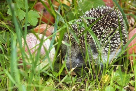 Little hedgehog in the apple orchard Stock Photo - 15118633