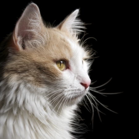Home cat white on black background                    Stock Photo