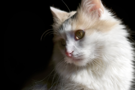 Home cat white on black background                    Stock Photo - 15922407
