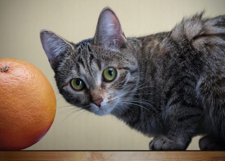gray cat sitting next to a grapefruit and looking into the lens