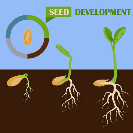 Set of plant seed development phases vector illustration