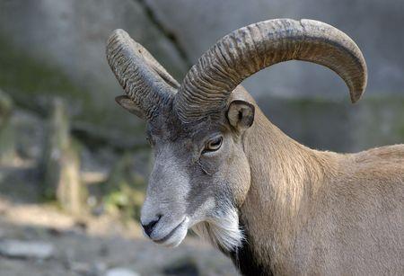 wild goat: H�bitat de la cabra en el zool�gico de Kaliningrado, Rusia.