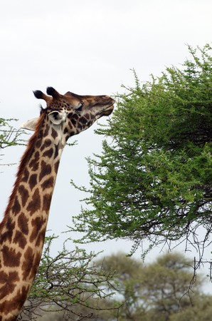Giraffe - African mammal, the tallest of all land-living animal species, and the largest ruminant. photo