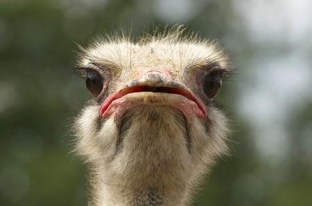 Hoofd van de Afrikaanse struis vogel  Stockfoto