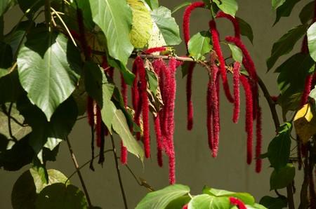 zanzibar: Amaranthus caudatus is de Afrikaanse bloem uit Zanzibar