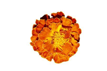 patula: French marigold isolated (Tagetes patula)