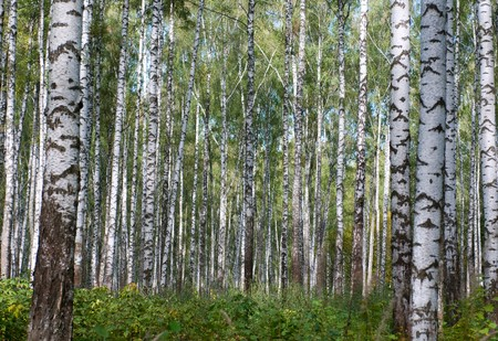 primeval forest: Autumn primeval birch`s forest Stock Photo