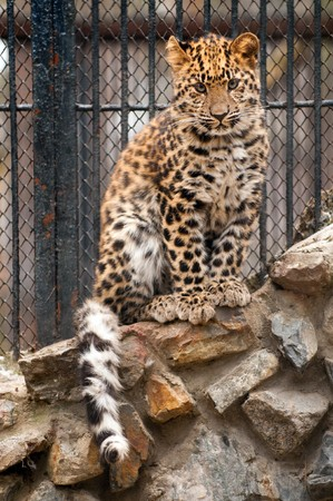 amur: Young Amur or Manchurian leopard - one of the rarest felids in the world