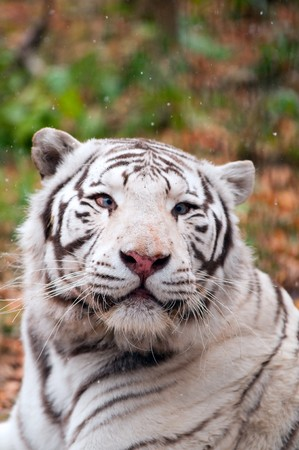 White Bengal Tiger in a Zoo photo