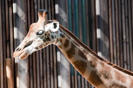 tripple: Family of giraffes on woods background Stock Photo