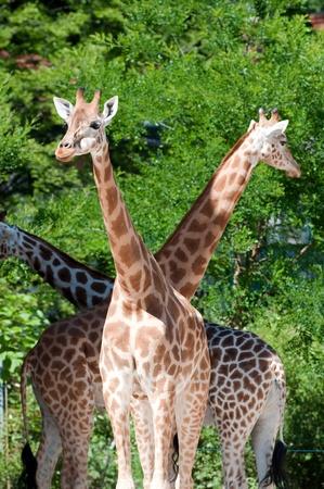 tripple: Family of giraffes on nature background Stock Photo