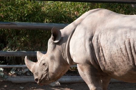 Rhino in Berlin Zoological Garden photo