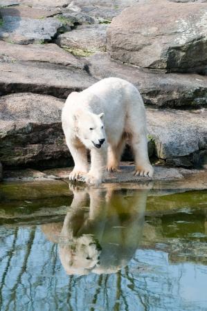 Polar white bear at the Berlin Zoological Garden photo