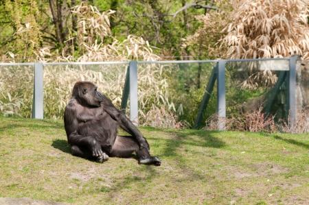 Gorilla in Berlin Zoological Garden photo