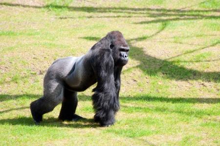 Chimpanzé, Gorille Des Plaines Orientales, Gorille De Montagne PNG -  Chimpanzé, Gorille Des Plaines Orientales, Gorille De Montagne  transparentes   PNG gratuit