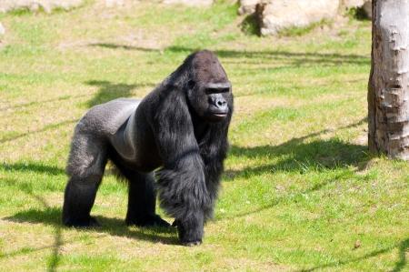 Gorilla in Berlin Zoological Garden