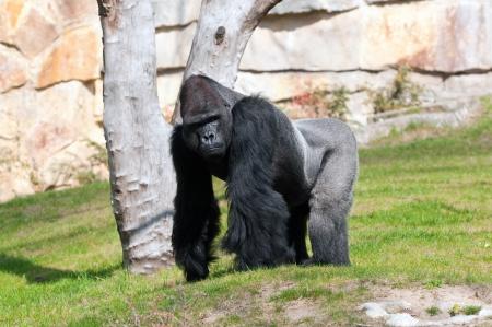 silverback: Gorilla in Berlin Zoological Garden
