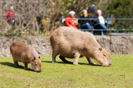 Capybara in Berlin Zoological Garden photo