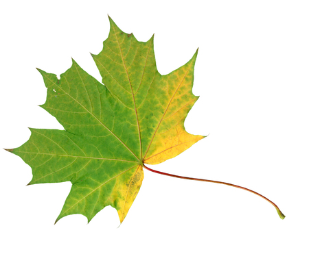 Autumn maple leaf isolated on white and beautiful
