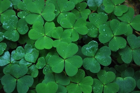 clover in a meadow Stock Photo - 10845807