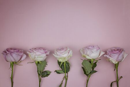 Gentle roses on a pink background, space for text.
