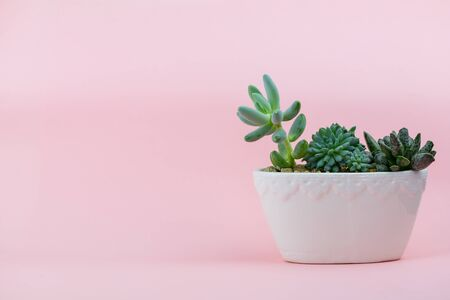 Succulents in white flowerpot on gently pink background with mesom for text Stok Fotoğraf