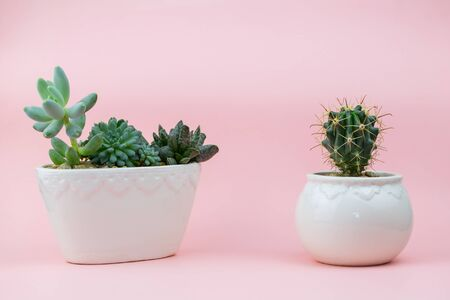 Succulents, cacti in a white flowerpot on a pink background
