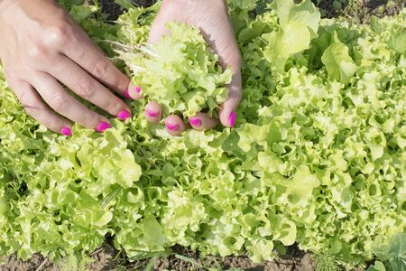 Womens hands with pink manicure gather salad leaves