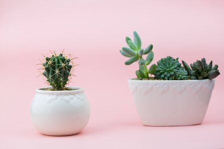 Cacti in pots on pink background with space for text. Concept zhivyah plants
