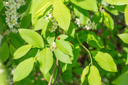 Ladybug sitting on a bright green leaf of bird cherry Banco de Imagens