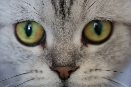 Close up of the muzzle of the British cat. Purebred cat Banco de Imagens