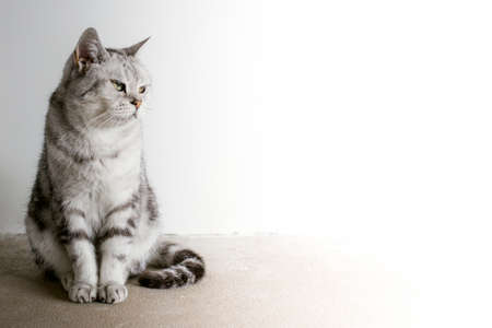 The British cat sits and looks in the direction where it devours space for the text. Background with British cat 写真素材 - 155712865