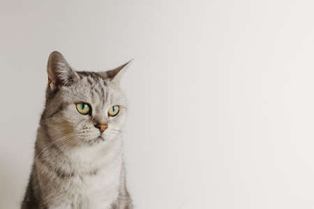 Portrait of a pensive and lonely British cat against a white wall