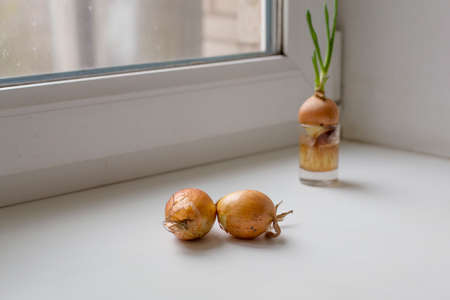 Growing onions on the window. Healthy food concept 写真素材