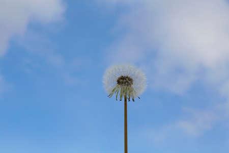 Fluffy dandelion against the light blue sky. 写真素材 - 158814083