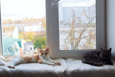 Beautiful cats lie on a blanket on the windowsill and look comfortably at the camera 写真素材 - 159024268