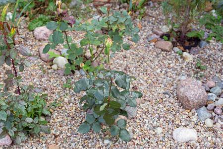 Breeding varietal roses. Seedlings for the garden 写真素材 - 159024806