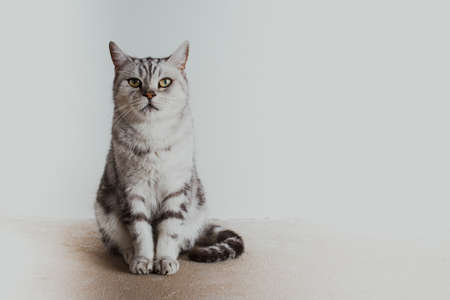 British cat sits on the background of a white wall and looks at the camera