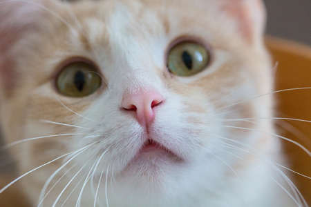 Close up of a muzzle of a cat. Red and white cat