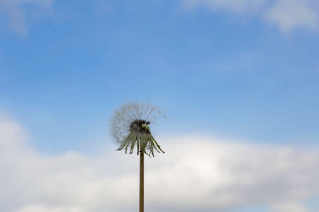 Fluffy white dandelion against the background of a blue sky with white clouds.