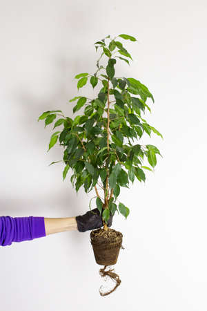Ficus is ready for transplant. A female hand in rubber gloves holds a houseplant against the background of a white wall.