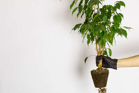 A female hand in rubber gloves holds a houseplant against the background of a white wall, space for text. Indoor plant transplant.