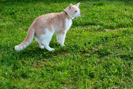 Domestic cat with a collar on a background of juicy green grass 写真素材