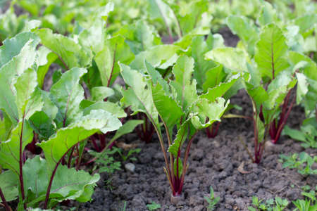 Beets in the garden. Growing of vegetables, a useful and healthy food without GMOs.