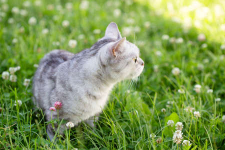 A gray British cat stands in the bright green grass and breathes Stock Photo
