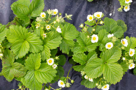 Top view on healthy bushes of young strawberries. Blooming strawberry bushes. Summer strawberry seedlings