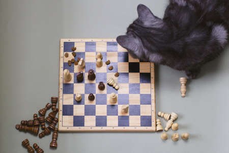 A gray cat sits at a chess board. Chess, cat, food