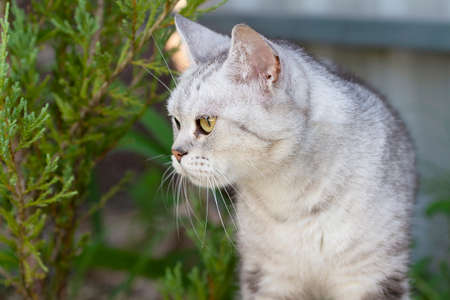 Beautiful purebred gray cat for a walk. The cat stands by the green spruce and looks away