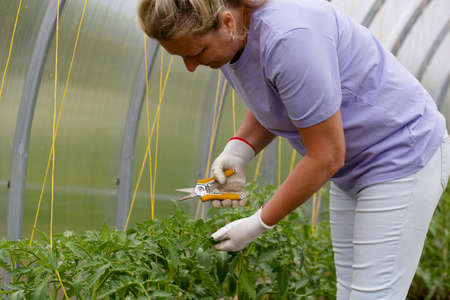 Woman processes tomatoes in the greenhouse, leaf pruning
